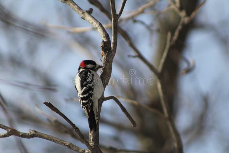 小的柔软的啄木鸟 免版税库存照片