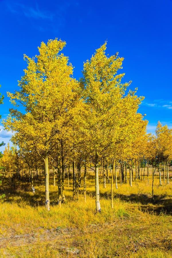 小的桦树树丛 库存照片