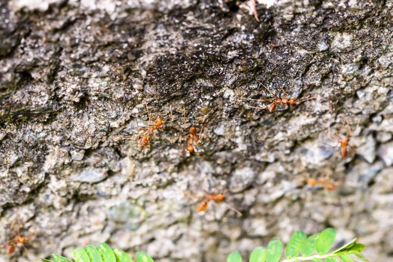 小的橙色火蚂蚁特写镜头在树的 库存图片