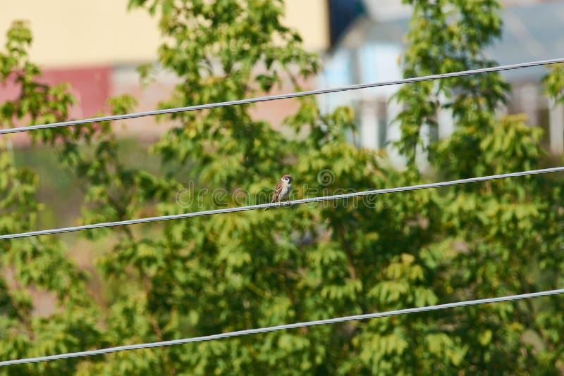 小的欧亚树麻雀坐一团厚实的电线 免版税库存图片