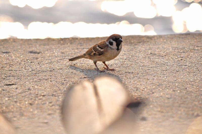 小的欧亚树麻雀 库存图片
