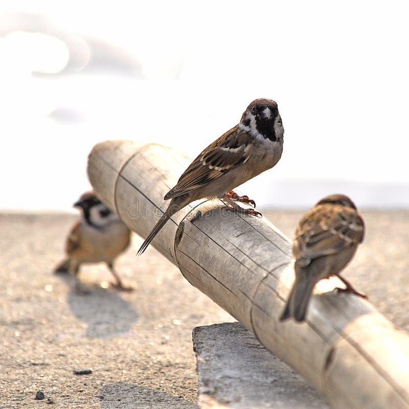 小的欧亚树麻雀 免版税库存图片