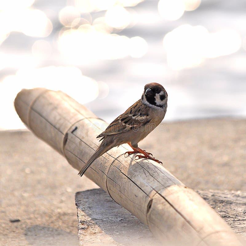 小的欧亚树麻雀 免版税库存照片