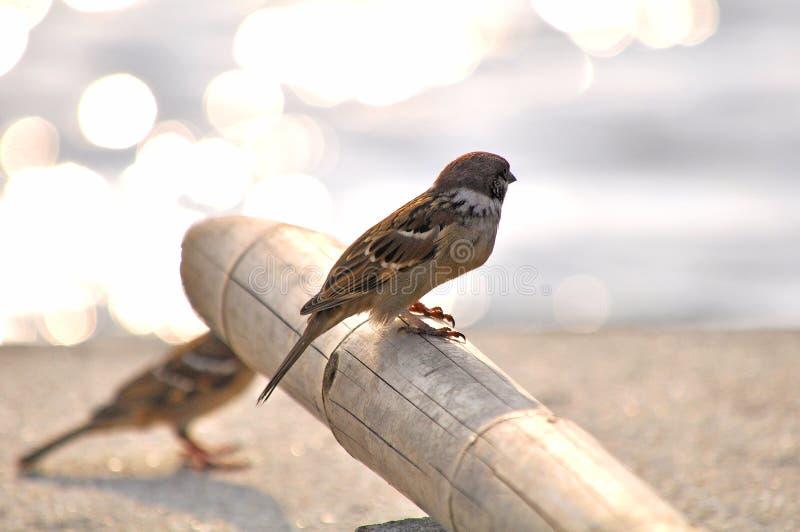 小的欧亚树麻雀 免版税图库摄影