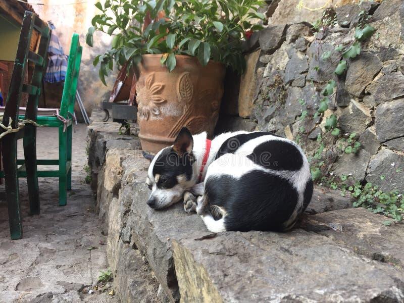 小的母牛形状的奇瓦瓦狗宜人的睡眠  免版税库存图片
