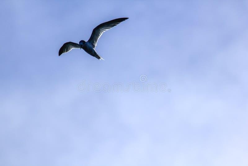 小的燕鸥在天空飞行 免版税库存图片