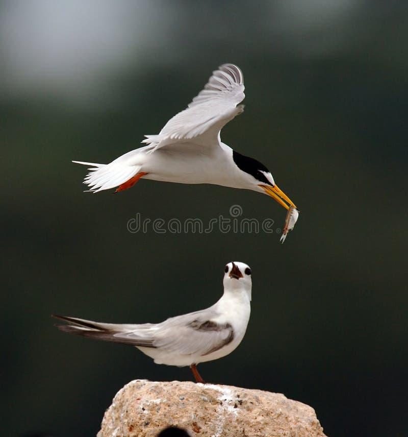 小的燕鸥 免版税库存图片