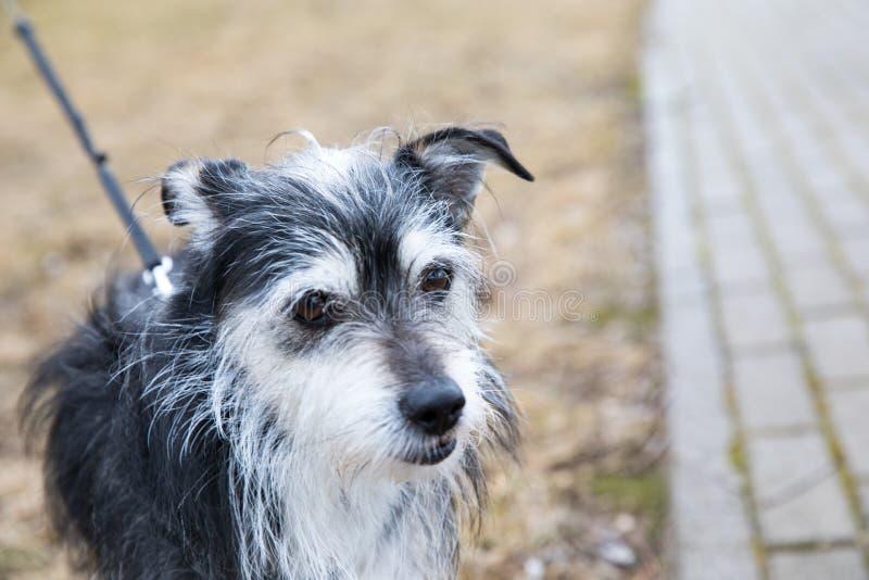 小的爱犬为walkies 库存照片