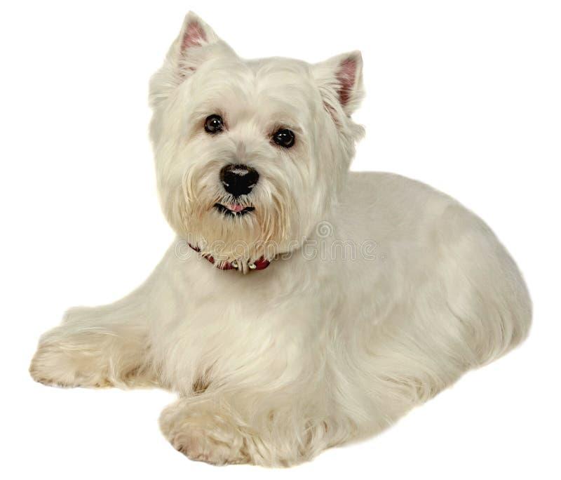 小的狗。白色的摄影演播室 库存照片