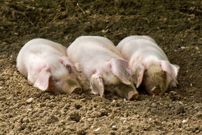 小的猪三 免版税库存照片