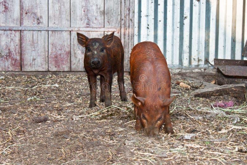 小的猪二 图库摄影