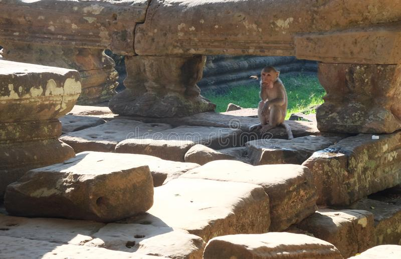 小的猴子在古老废墟中蹲下了并且吃 古老大厦废墟在亚洲东南部 ?? 库存图片