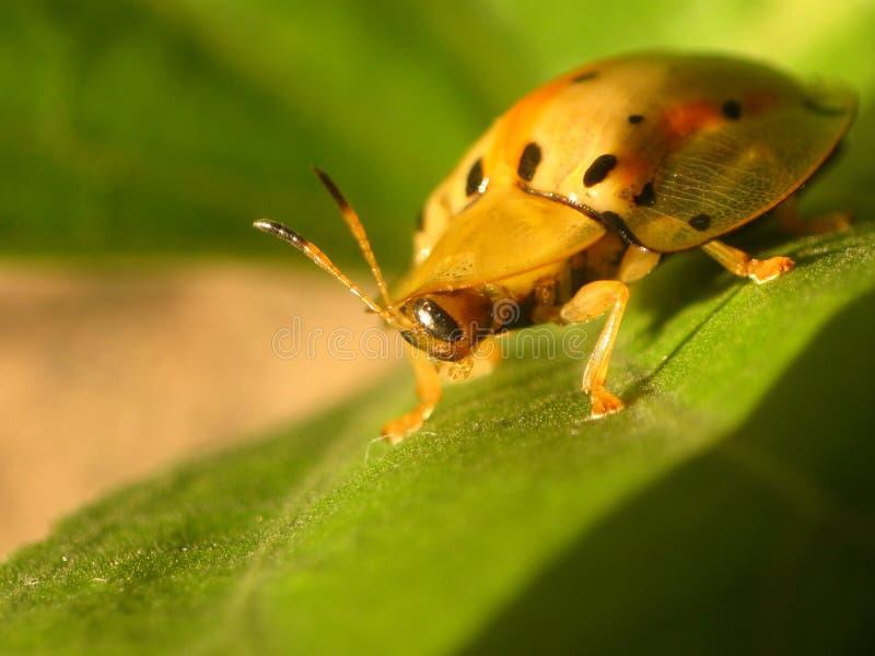 小的瓢虫 免版税库存照片
