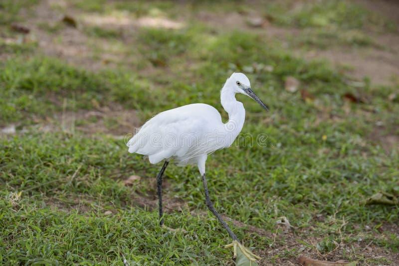 小的白色白鹭, Egreta garzetta在自然环境里 库存照片