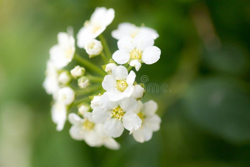 小的白花开花的灌木背景  免版税图库摄影