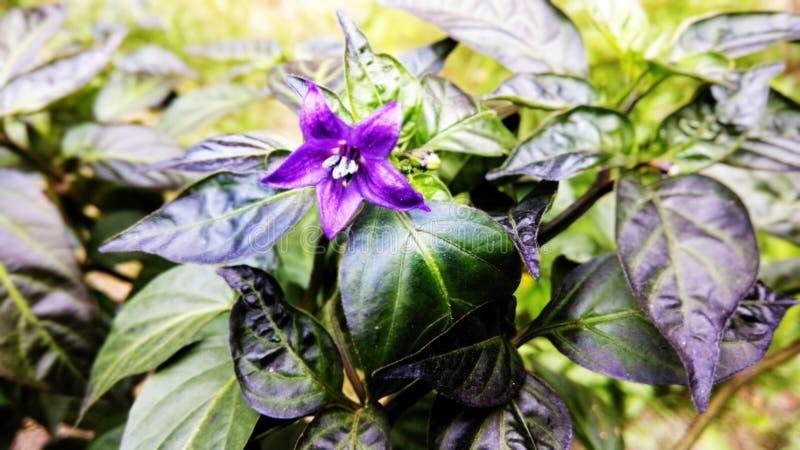 小的紫色辣椒花 库存照片