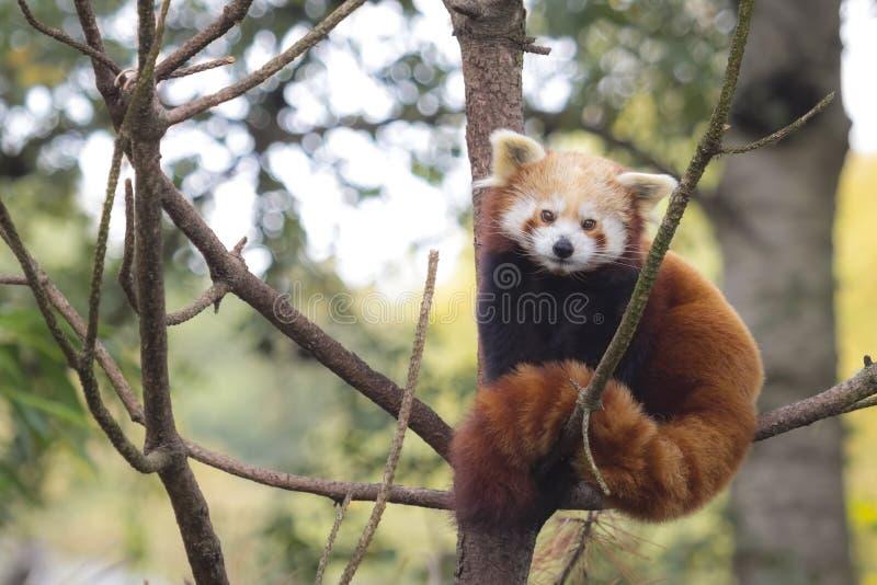 小的红熊猫,小雄猫属fulgens 库存照片