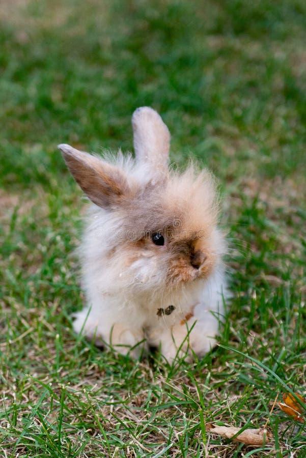 小的红色兔子 免版税库存图片