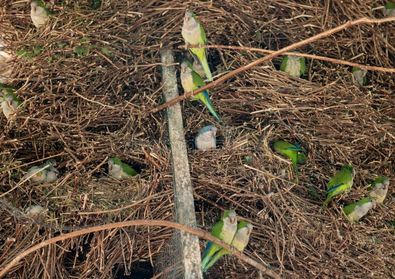 小的绿色和蓝色鹦鹉巢在储备的 美丽的热带鸟 免版税库存图片