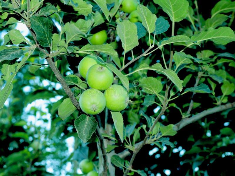 小的绿色苹果在克什米尔谷印度 免版税库存照片