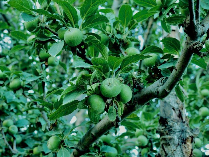 小的绿色苹果在克什米尔谷印度 库存图片
