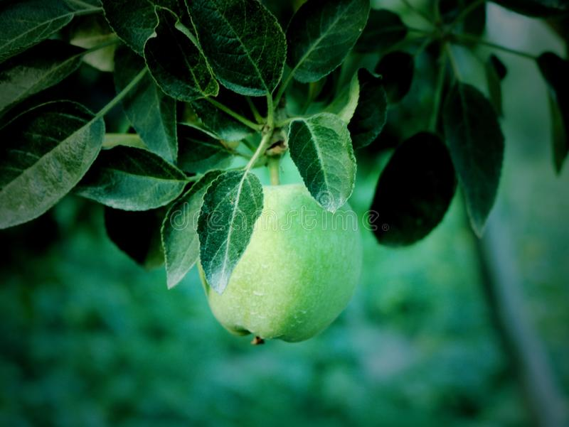 小的绿色苹果在克什米尔谷印度 图库摄影