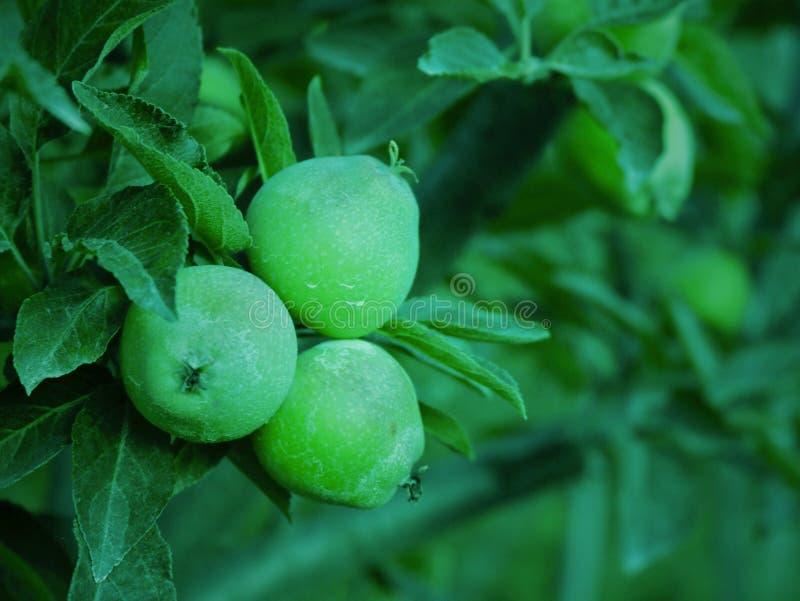 小的绿色苹果在克什米尔谷印度 免版税库存图片