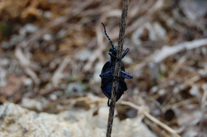 小的蓝色臭虫 库存照片