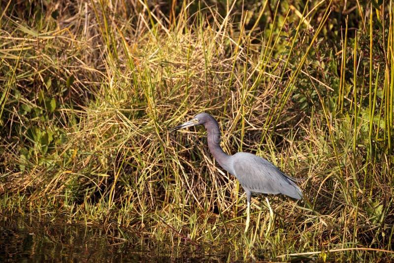 小的蓝色苍鹭鸟白鹭属caerulea 免版税库存图片