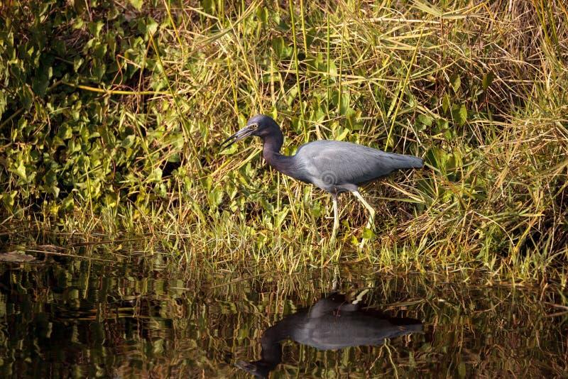 小的蓝色苍鹭鸟白鹭属caerulea 库存图片