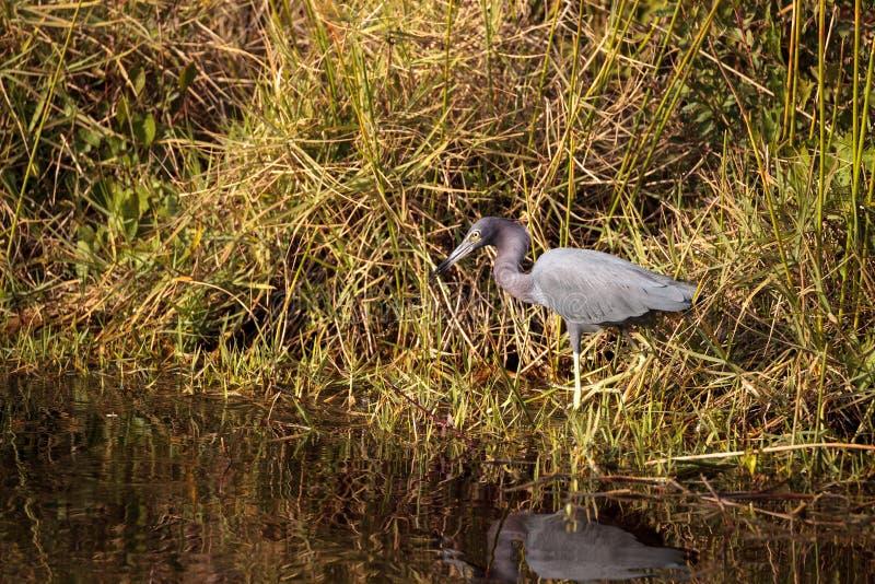 小的蓝色苍鹭鸟白鹭属caerulea 图库摄影