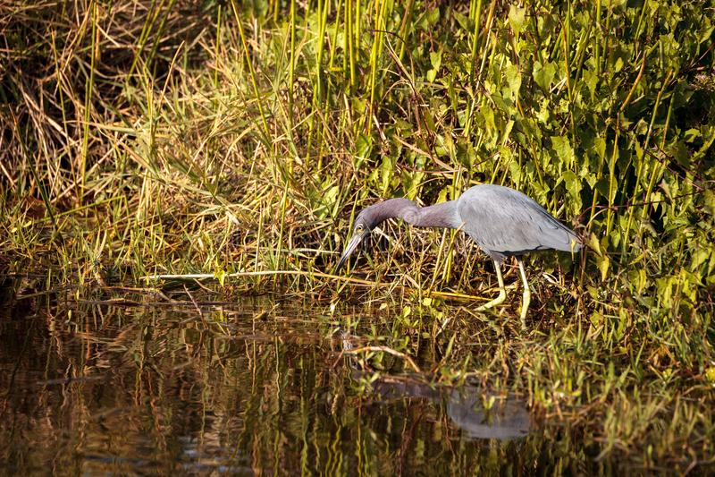 小的蓝色苍鹭鸟白鹭属caerulea 免版税库存照片