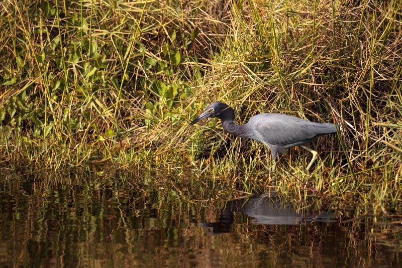 小的蓝色苍鹭鸟白鹭属caerulea 库存照片