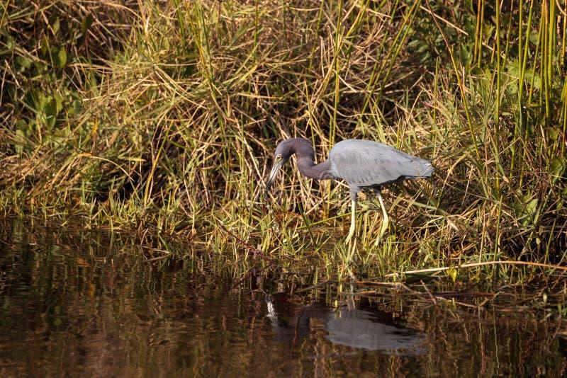 小的蓝色苍鹭鸟白鹭属caerulea 免版税图库摄影