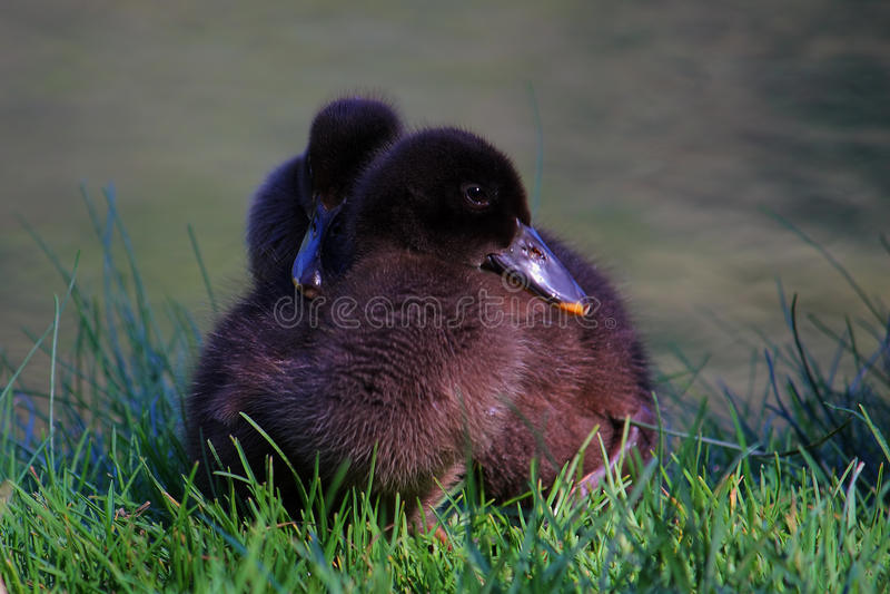 小的蓬松鸭子 库存图片