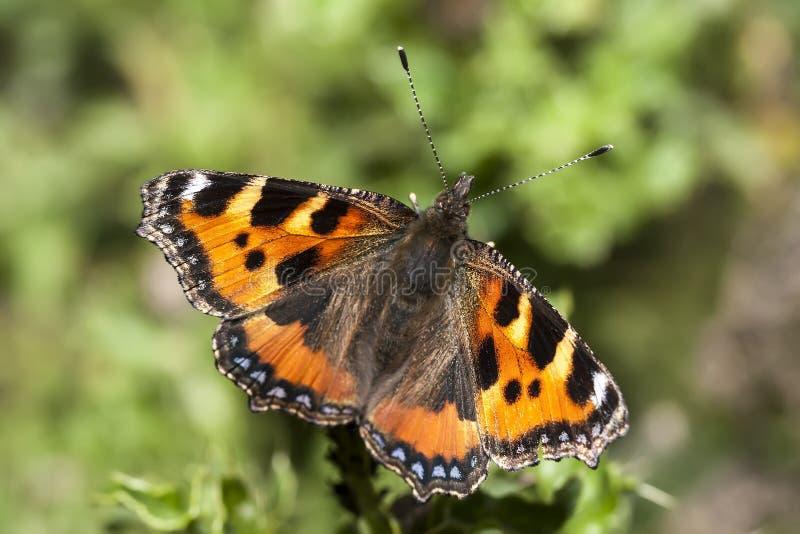 小的蛱蝶 库存照片