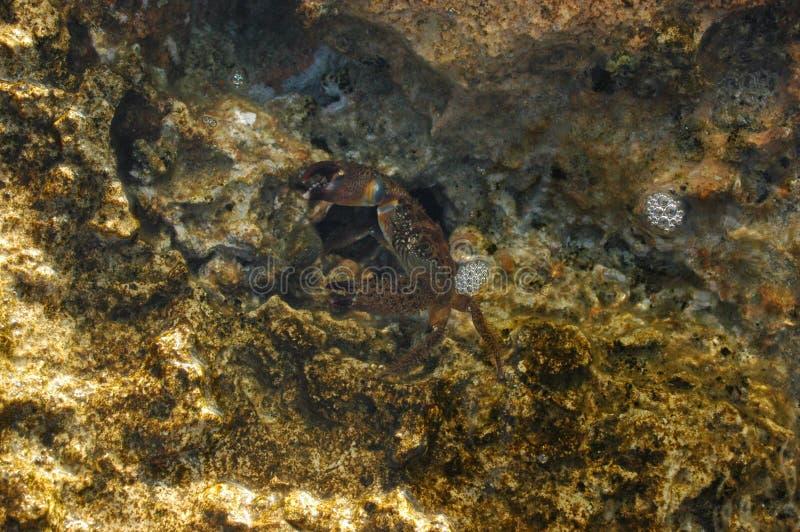 小的螃蟹 免版税库存图片