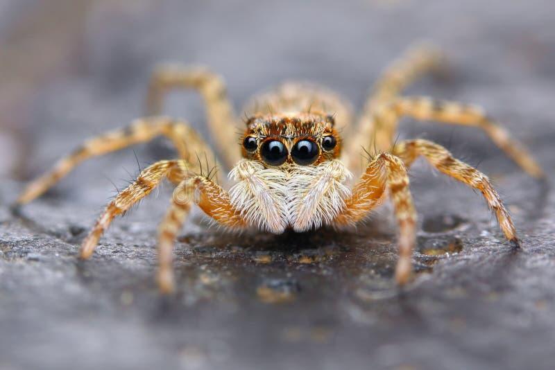 小的西班牙跳跃的蜘蛛  图库摄影