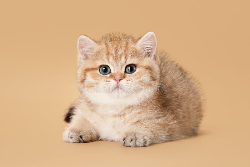 小的金黄英国小猫 库存照片