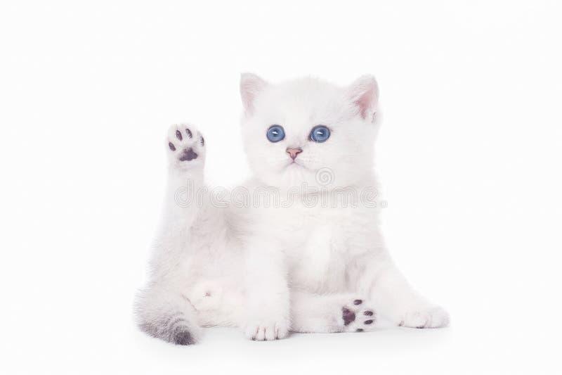 小的银色英国小猫 图库摄影