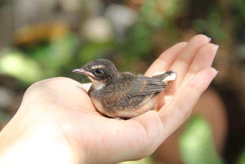 小的鸟在我的手上 图库摄影