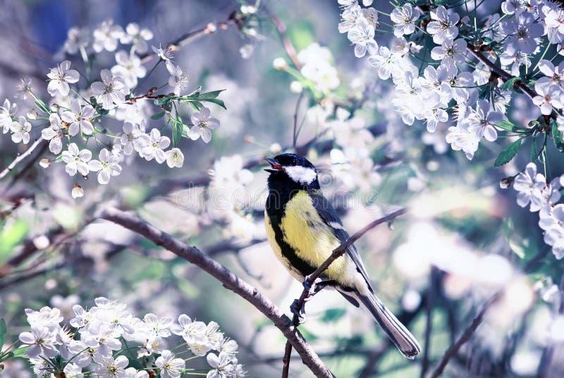 小的鸟山雀坐一个樱桃分支在春天也许从事园艺围拢由白花 库存图片