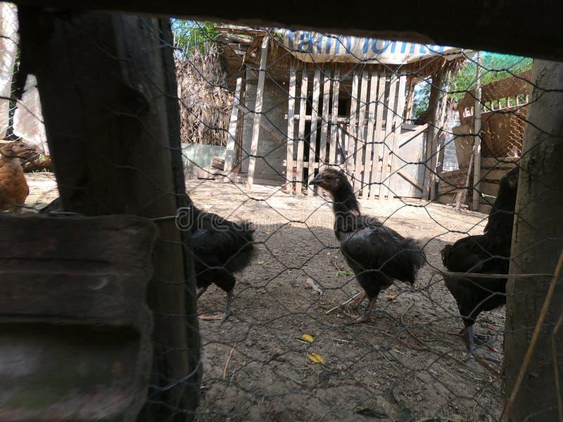 小的鸡和小的雄鸡在一个有机农场 库存照片