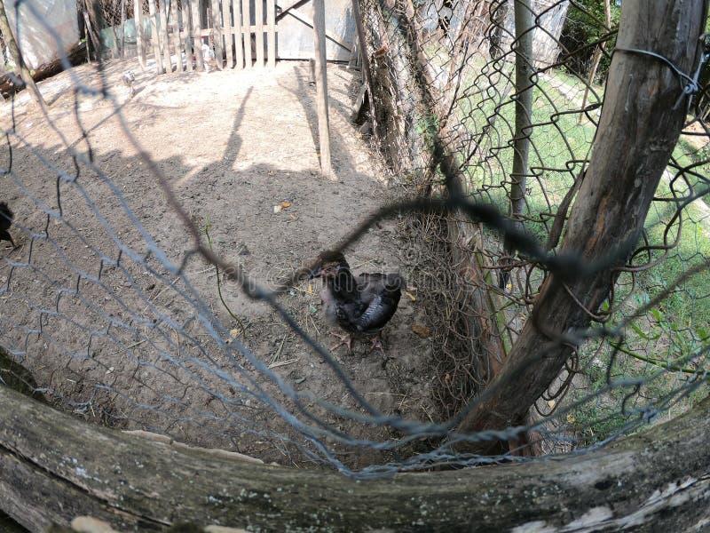 小的鸡和小的雄鸡在一个有机农场 免版税库存图片