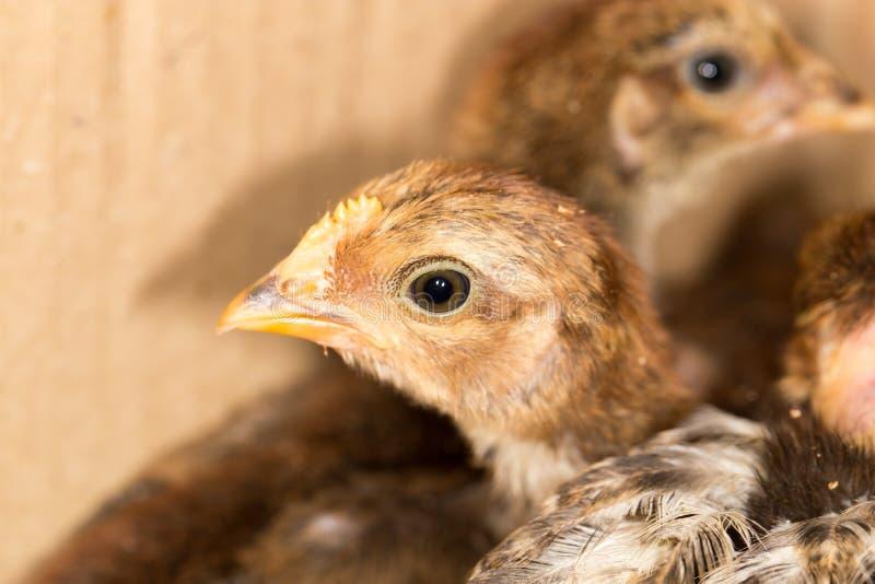 小的鸡 免版税库存照片