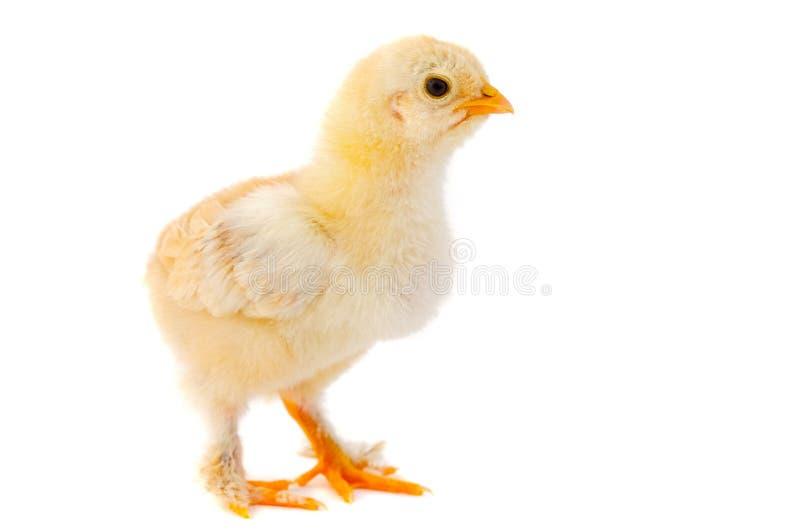 小的鸡 免版税图库摄影