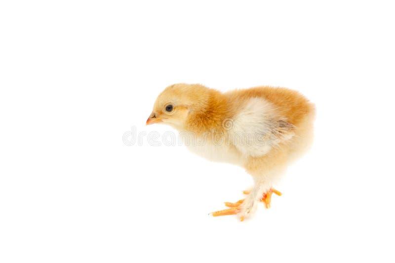 小的鸡 库存照片