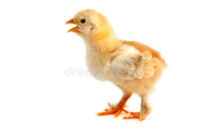 小的鸡 库存图片