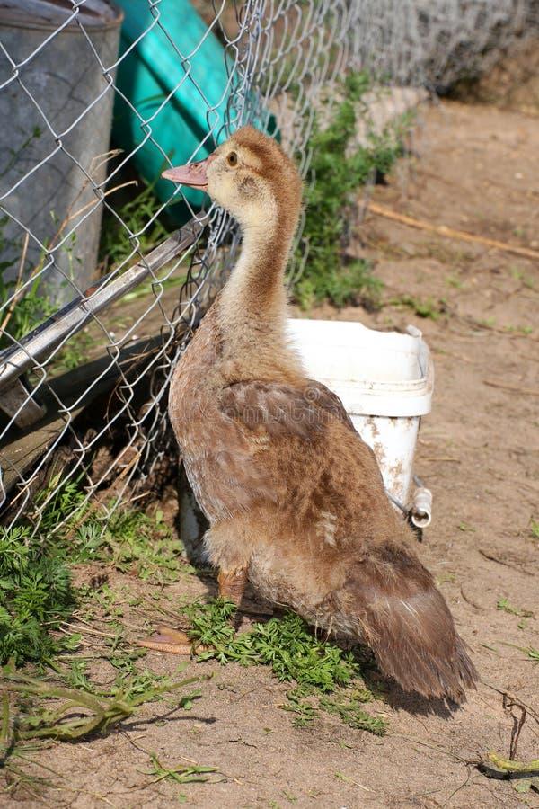 小的鸭子小鸭子家 俄国 小鸡 免版税库存图片
