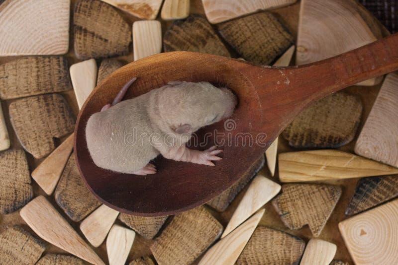 小的鼠在一把大匙子坐 小崽关闭 图库摄影